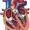 atividades corpo humano coração 02