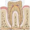 atividades corpo humano dente