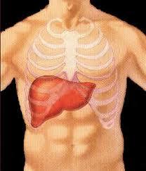 Fígado - Corpo Humano